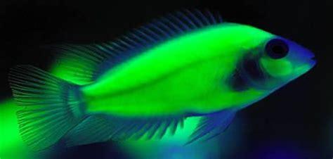 Fish Glow In The glow in the fish fish nightlights fishys