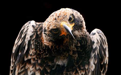 wallpaper 4k eagle golden eagle hd desktop wallpapers 4k hd