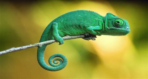 chameleons 10 facts you probably need to learn