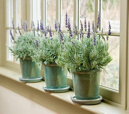 43 best gardens indoors images on pinterest white flower farm white flowers and lavender