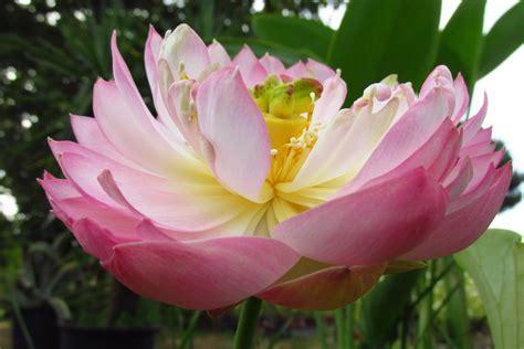 fiori simili alle margherite le piante vivaivalverde