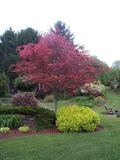 tri color beech tree problems tri colored beech with
