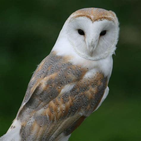 Anting Silver Owl Burung Hantu barn owl