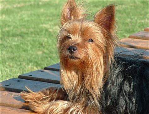 how is a yorkies span 1001doggy all about breeds