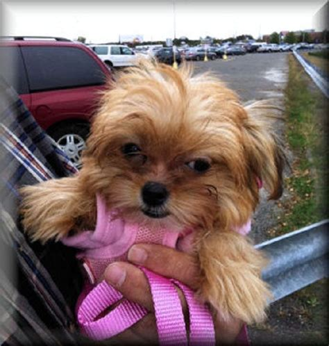 teacup shorkie puppies for sale best 25 shorkie puppies for sale ideas on yorkie teddy cut