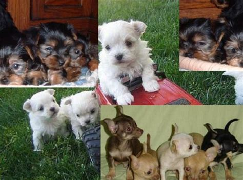 yorkie for sale vancouver chihuahua yorkies maltese for sale vancouver dogs for sale puppies for sale