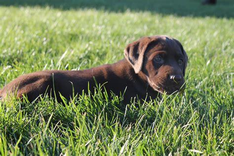 chocolate lab puppies oregon chocolate labrador breeder oregon dogs our friends photo