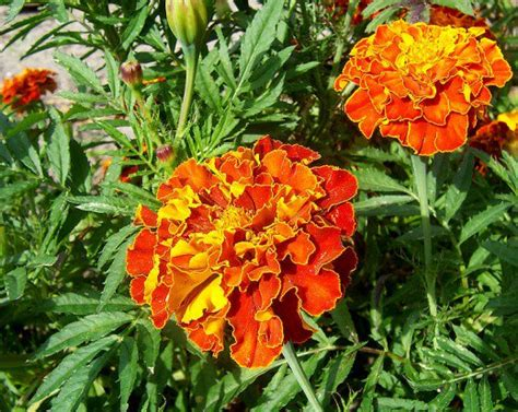 plants that repel aphids plants that repel pests bugs and insects naturally