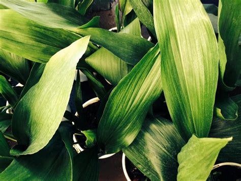 aspidistra elatior common  cast iron plant mm