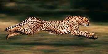 Is A Jaguar Faster Than A Cheetah Science Inspiration How Fast Can Animals Run