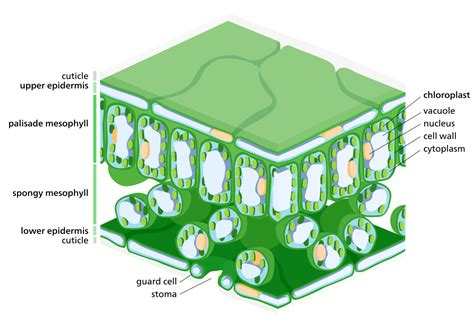 cross section of chloroplast file leaf tissue structure flat svg wikimedia commons