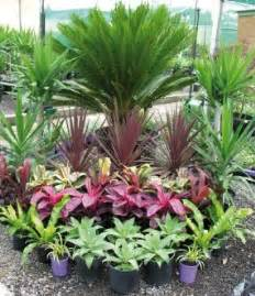 tropical plants sago palm cordylines agaves plants