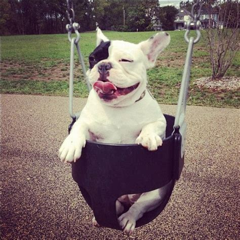 french bulldog swing batpig and me the life times and adventures of a batpig