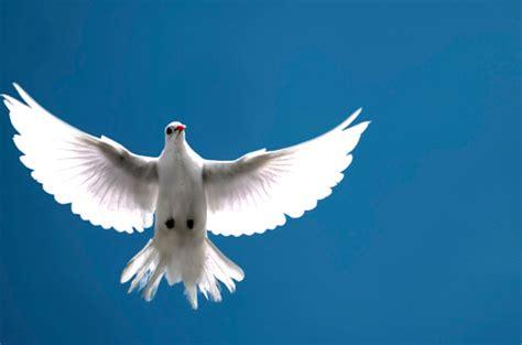 imagenes palomas blancas volando palomas volando fotos imagui