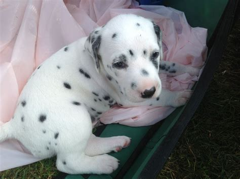 dalmatian puppies for sale gorgeous dalmatian puppies for sale stanford le essex pets4homes