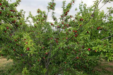file plum tree jpg wikipedia