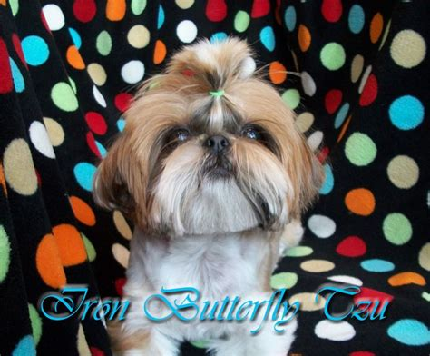 teacup shih tzu puppies for sale in iowa 1000 images about shih tzu on maltese pets and brussels griffon puppies
