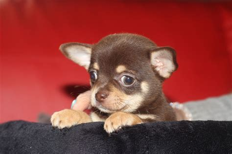 chocolate chihuahua puppies chocolate chihuahua puppy skegness lincolnshire pets4homes