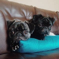 cuddle pugs 1000 images about and awesome pugs on baby pugs pug and pug puppies