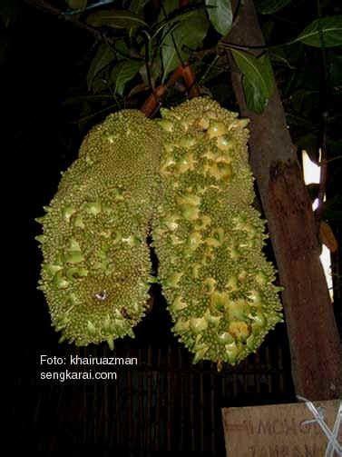 Batu Akik Gambar Pak Haji artikel misteri menarik lucu dan unik ada pohon nangka