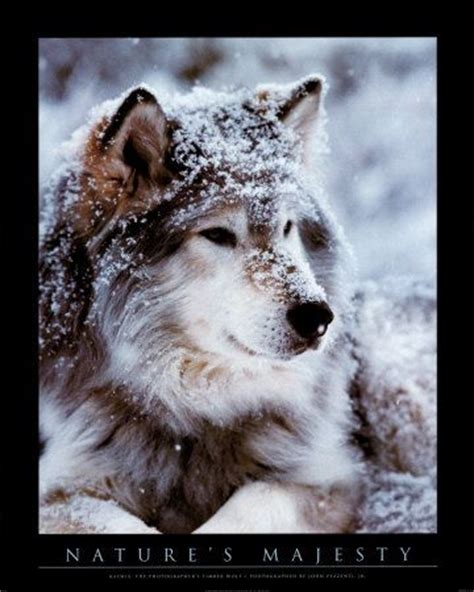 google images wolf cool wolf pictures google search animals pinterest