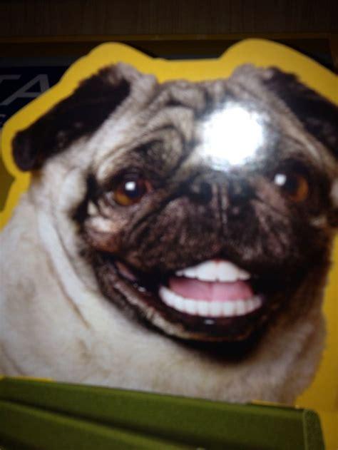 pug teeth pug teeth smile pug