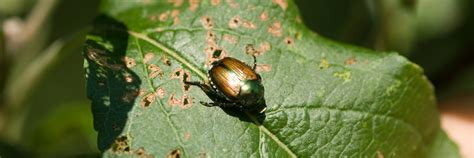pests and diseases of plants umaine cooperative extension insect pests ticks and