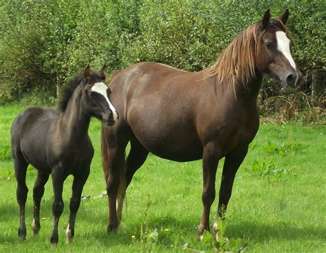 Cob Section C by Stud Quality Mountain Ponies Cobs Part Breds