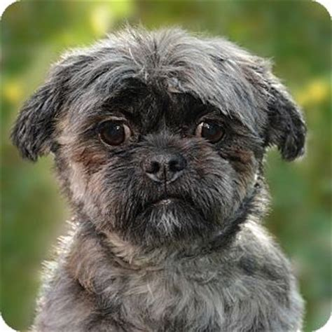 havanese chicago adopted chicago il havanese shih tzu mix