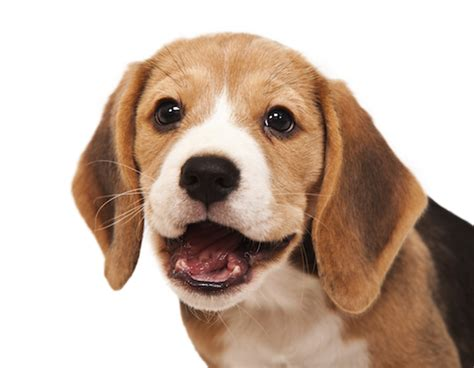 when do puppies start losing their teeth puppy baby teeth puppy retained deciduous teeth