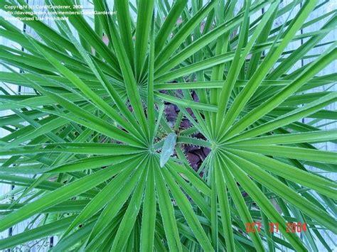 european mediterranean fan palm plantfiles pictures european fan palm mediterranean fan