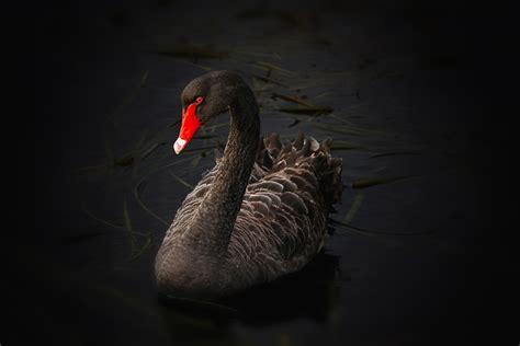 black images free stock photo of australian black swan birds black swan