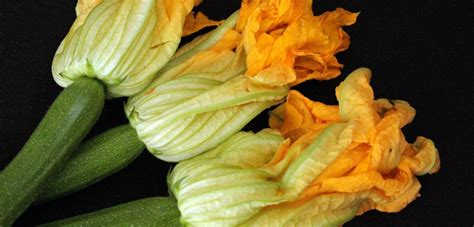 fiori di zucca o di zucchina fiori di zucca o di zucchina due ricette green it