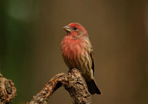purple house finch audubon birds purple finch male models picture