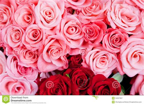 pink and red roses photo pink and red roses royalty free stock photography image
