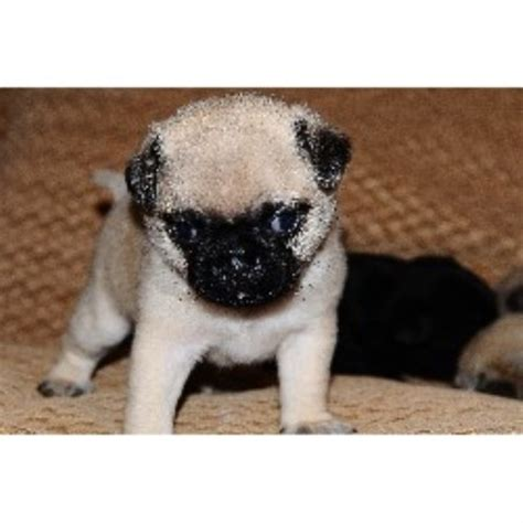 pug rescue ireland pug breeders and kennels uk scotland wales and ireland fawn