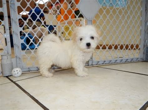 puppies for sale laredo tx not puppyfind craigslist oodle kijiji hoobly ebay marketplace