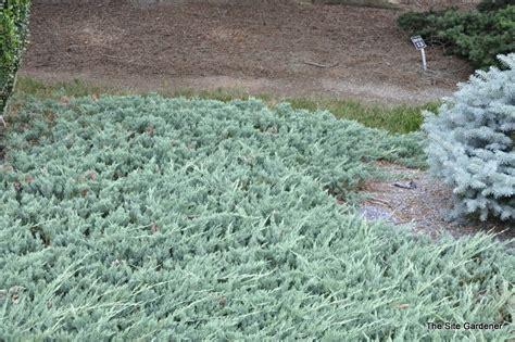 blue rug juniper growth rate juniperus horizontalis bar harbor hess landscape nursery finleyville pennsylvania