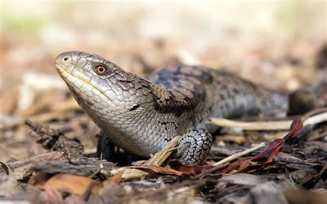 blue tongue blue tongue skink wallpapers backgrounds