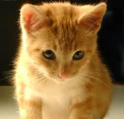 Razas De Gatos Related Keywords & Suggestions - Razas De Gatos Long ... Gato