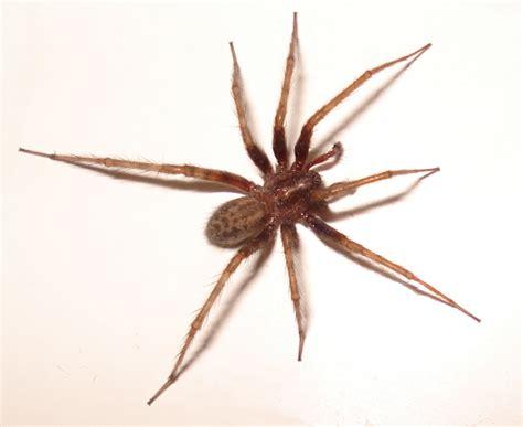 domestic house spider identification spider quiz includes tarantula huntsman and zebra