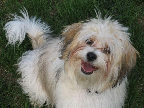 akc havanese akc chion havanese puppies