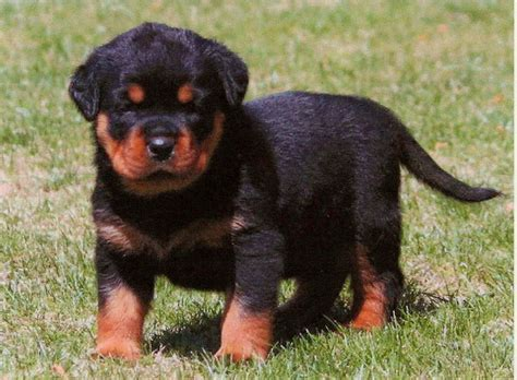 all black rottweiler puppies for sale all black rottweiler pictures