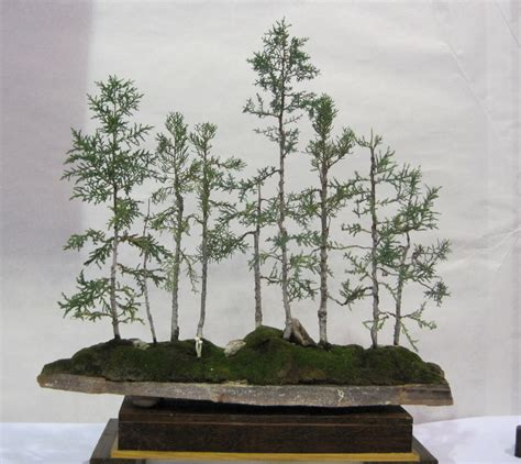 sales on trees shochiku bai bonsai club bonsai trees for sale