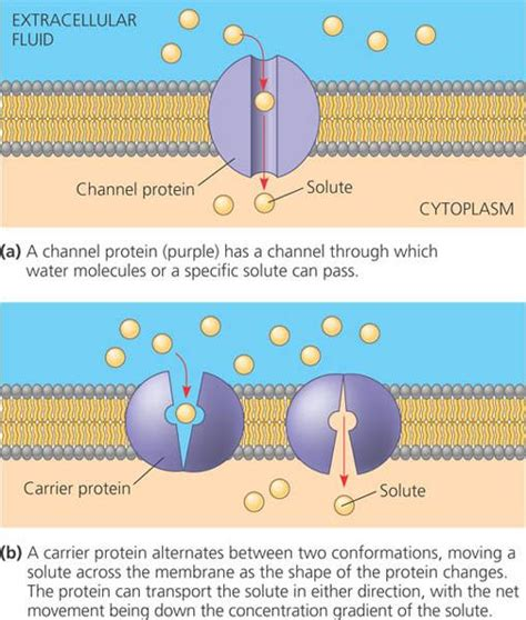 a protein channel is a transport protein that nukilan rasa from the beginner membrane structure n