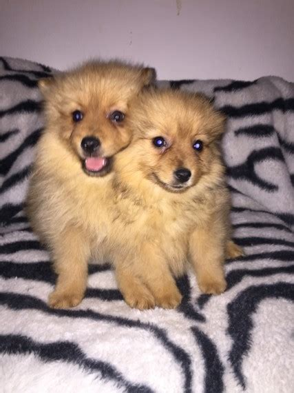 pomeranian puppies jacksonville fl pomeranian puppies for sale jacksonville fl 196177