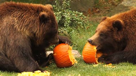 Pumpkin Carving by Bronx Zoo Bears Play With Pumpkins Youtube