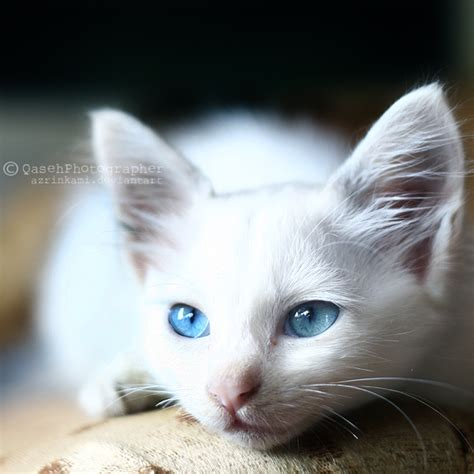 Are Cats With Blue Blind cloverclan