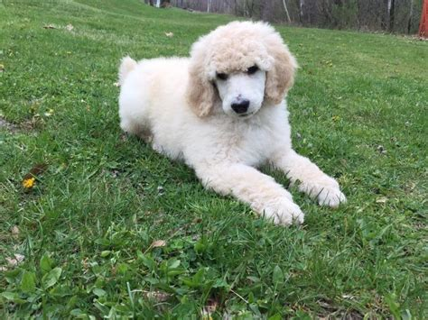 puppies pittsburgh standard poodle puppies pittsburgh pa dogs in our photo