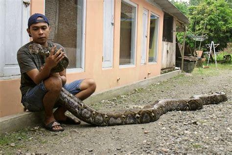 video film ular piton kisah warga kebumen jatuh cinta pada ular piton sai